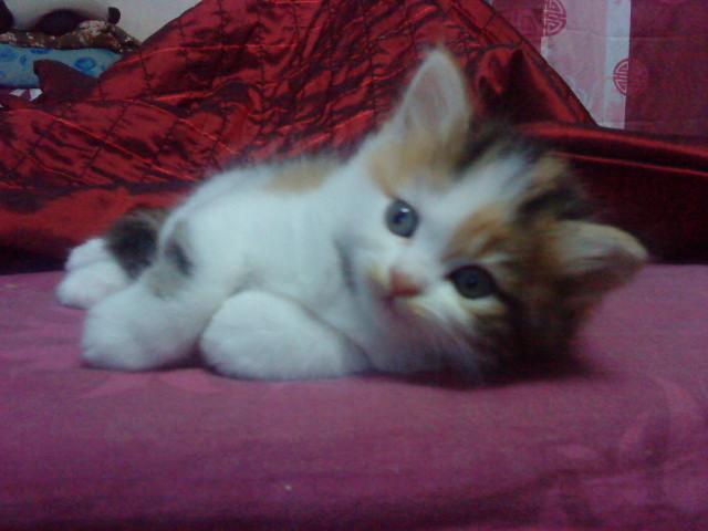 Kucing Persia Peaknose Umur 5 Bulan Jual Kucing Com Harga