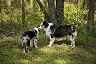 Lily and Teenie our Australian Shepherd girls