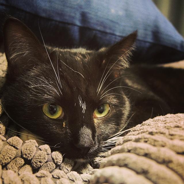 poes Polly zwarte kat