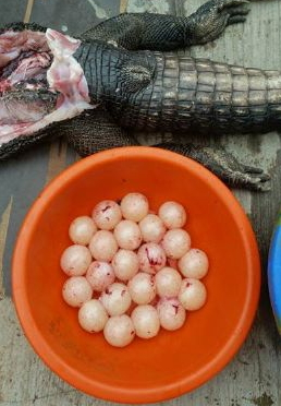 alligator caught gbagada lagos