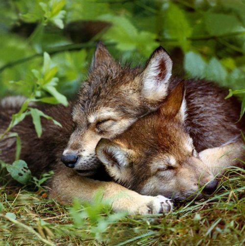Cute and Funny Pictures and more: Sleeping Wolf Cubs
