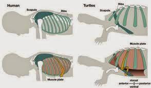 yoga kurmasana kurmasana  postura de la tortuga