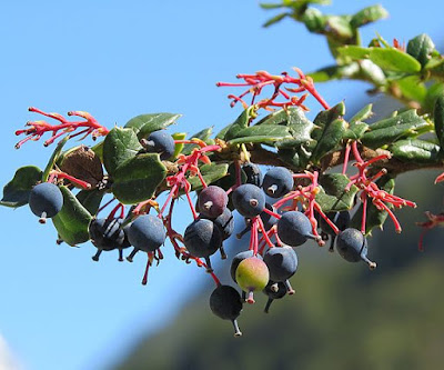 ripened berberis fruits