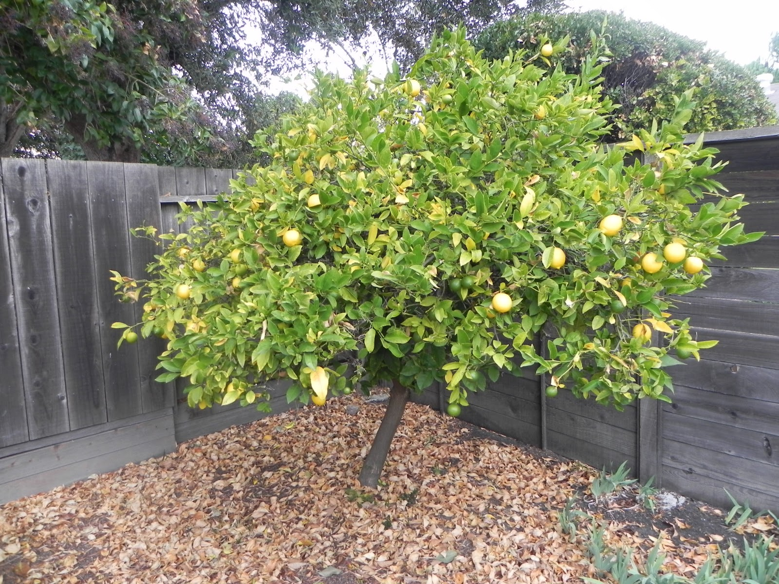 One Of The Joys California Is Fruit Trees I Love That My Backyard Has A Lemon Tree There Also An Orange