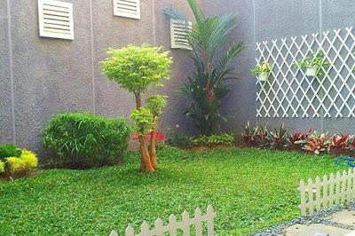 Jual rumput gajah mini surabaya