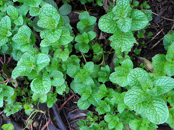 Patch of Fresh Mint