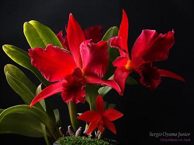 Orquídeas vermelhas Slc. Jewel Box e Sl. Jinn