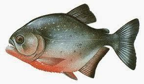 Resultado de imagem para Piranhas