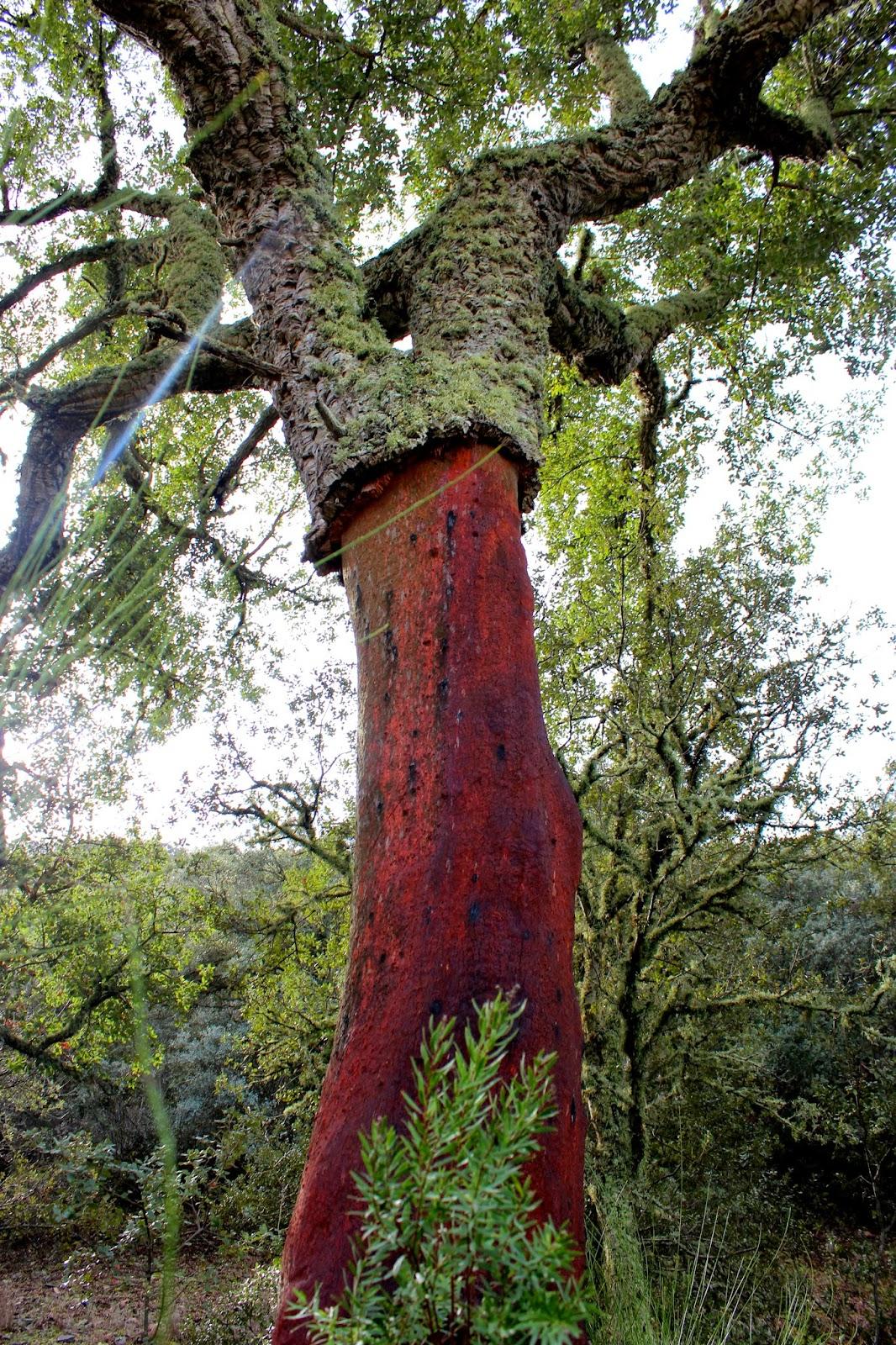 Alcornoque en el Parque Nacional de Cabañeros
