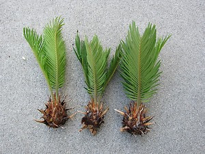 How to grow Sago palm from seed