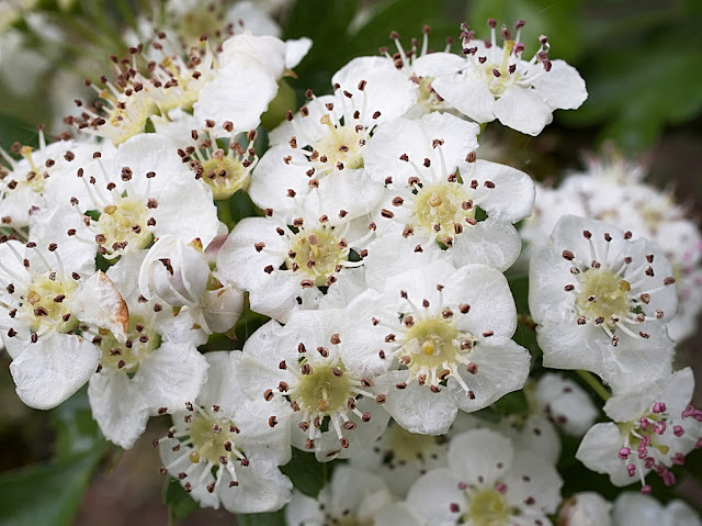 Close up of a knot of white hawthorn blossom