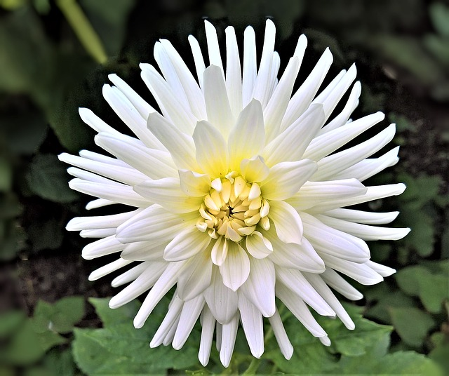 Facts behind chrysanthemum flowers daddy daughter stuffs but we are not going to talk much about that area instead we will explore other interesting facts such as flower meaning and symbolism of chrysanthemums mightylinksfo