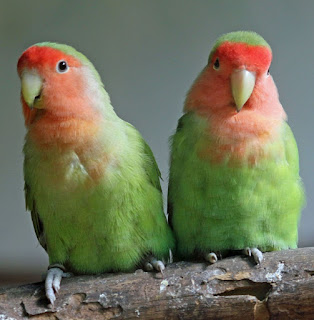 penyebab lovebird tidak bertelur