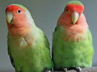 Penyebab Lovebird Tidak Bertelur Adalah?