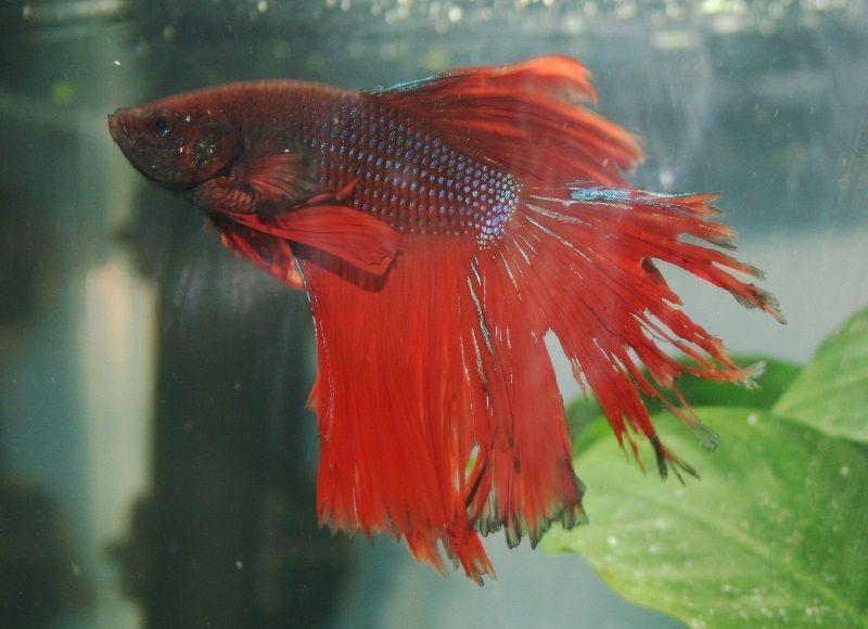 Gambar Jenis Penyakit Ikan Cupang Busuk Sirip ( Fin Rot ) Dan Cara Mengobatinya