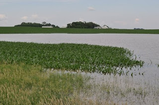 Partially flooded corn field