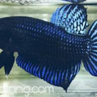 55 Gambar Ikan Cupang Laga HD