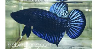 Cara Melatih Ikan Cupang Aduan Supaya Kuat dan Ganas
