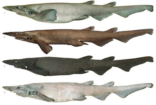 Tiburones en Galicia: Apristurus en Galicia