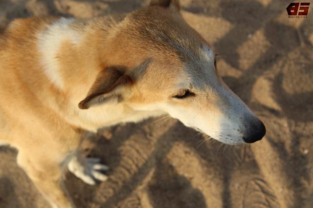 Stray Dog, Mandvi Beach