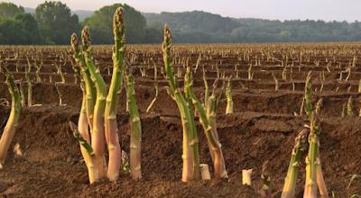 13 Cara Menanam Asparagus Kriteria Supermarket
