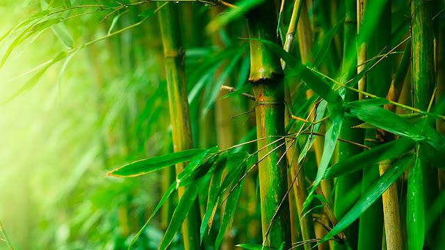 Jadilah seperti pohon bambu