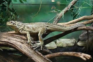 Hydrosaurus pustulatus