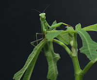 Praying Mantis Camouflaged