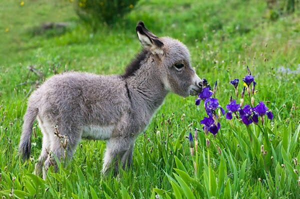 Funny animals of the week - 14 February 2014 (40 pics), donkey smells flowers