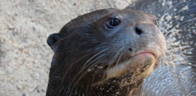 Las Nutrias gigantes del Amazonas regresan al Zoo Aquarium de Madrid