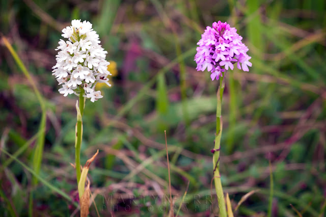 Two pyramidal orchids next to each other at Barnack Hills & Holes Nature Reserve