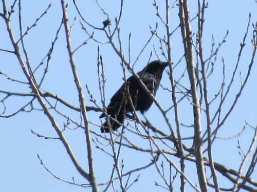 crow in aspen tree with swelling buds