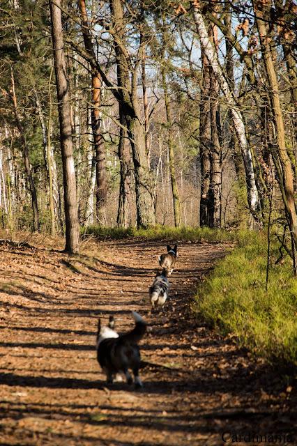 pies, zielony ług, spacer z psem, w podróży z psem, podróże z psem, Mazowsze, las, Warszawa, welsh corgi, welsh corgi cardigan, cardigan, corgi, biba, yuma, twiggy