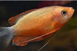Gurami Thicklip, jenis ikan akuarium