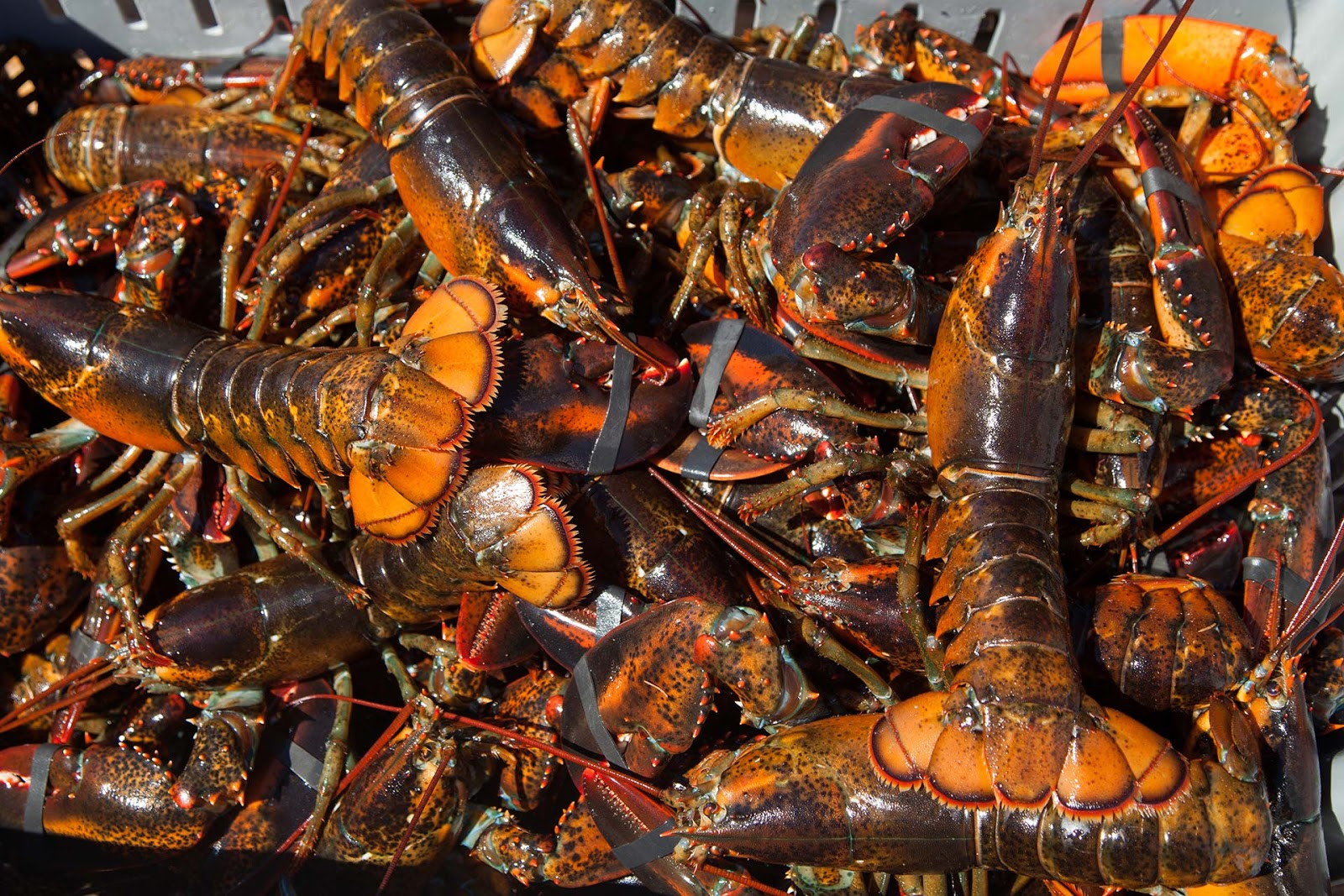 Lobster Supplier Malaysia | Supplier Fresh Water Lobster, Wholesale