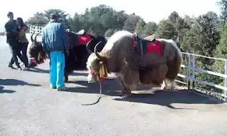 Yak riding in kufri
