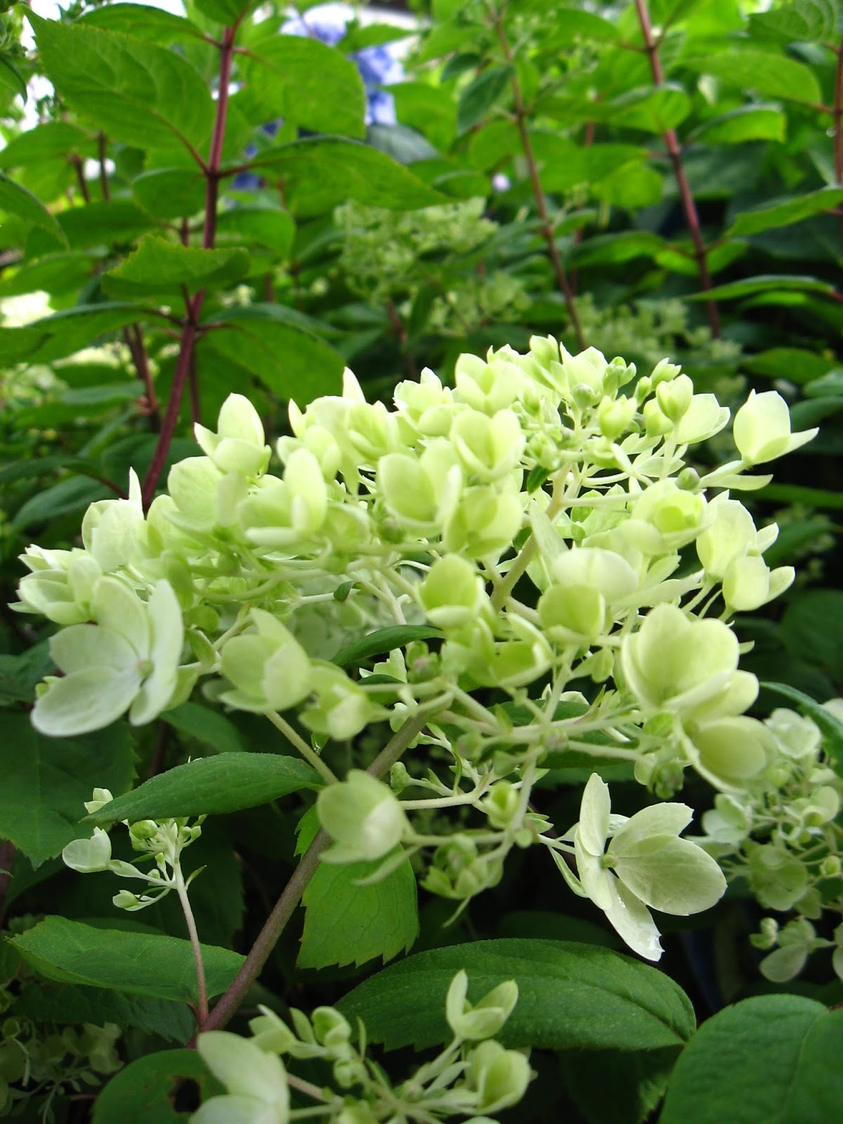 Hydrangea Flower Color Vander Giessen Nursery: Hydrangeas: When To Prune And How