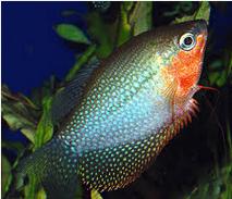 Ikan Hias  Lace Gourami  Habitatnya Asalnya