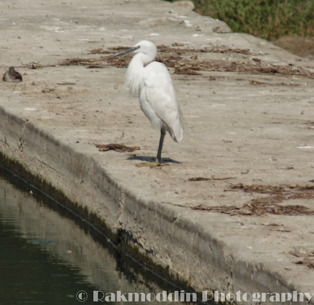 Great Egret at Pashan Lake, Pune, Maharashtra, India