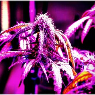cannabis cannabiscommunity can