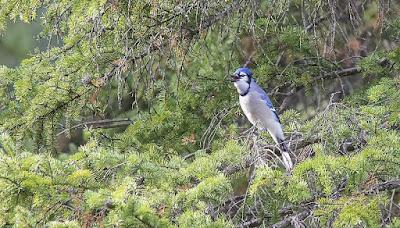 Blue Jay en su hábitat