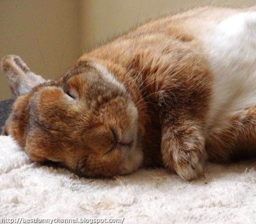 sleeping red bunny.