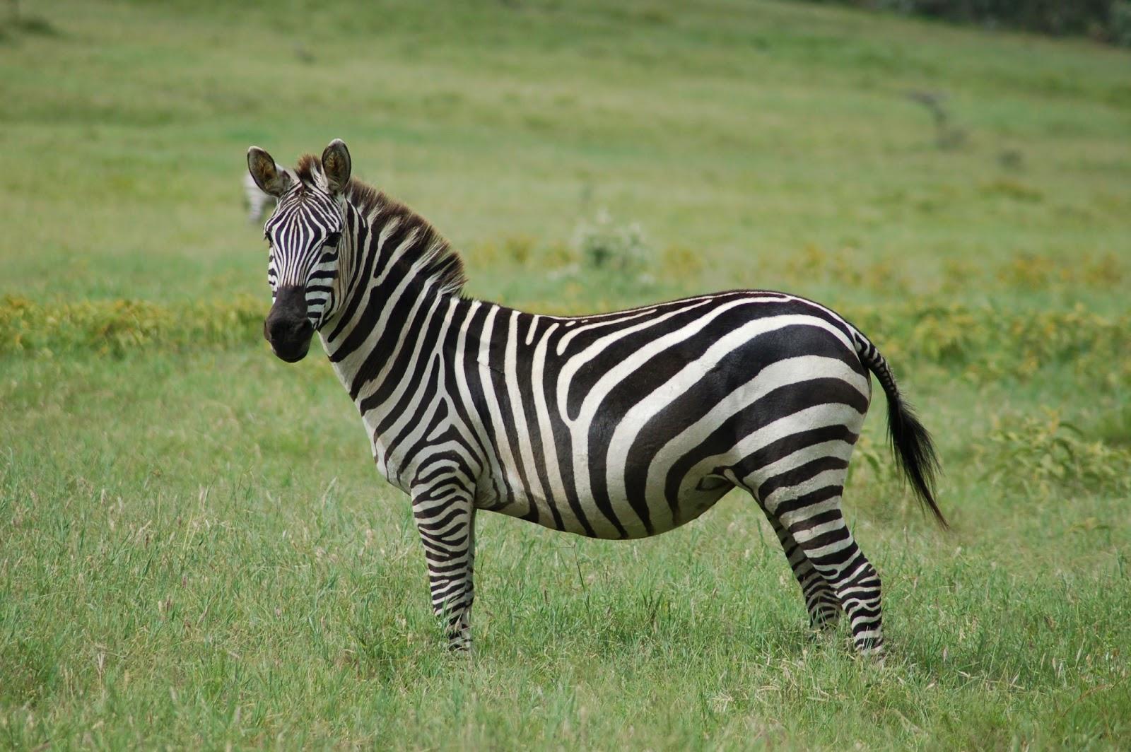 zebra animals zebras animal lover habitat facts plains grant quagga african female grants equus its zabra interesting wikipedia horse stripes
