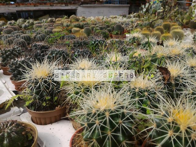 kaktus cameron highland