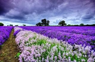 Foto Bunga Lavender Ungu yang Indah 19