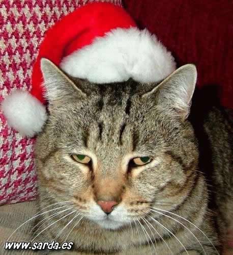gato con cara de resignado  navidad