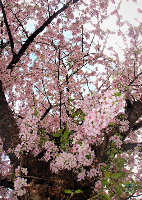 cherry-blossoms-kisama-heritage-village-kohima-nagaland