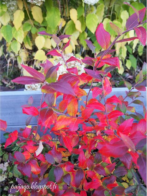 värejä luonnosta, pensasmustikka ja pallohortensia