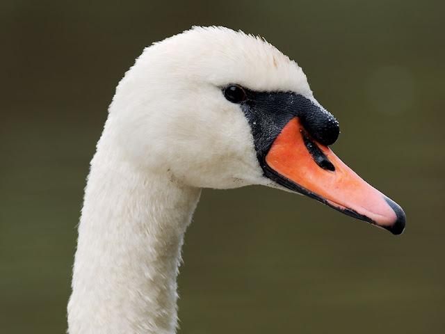 Noch mal im Profil höckerschwan