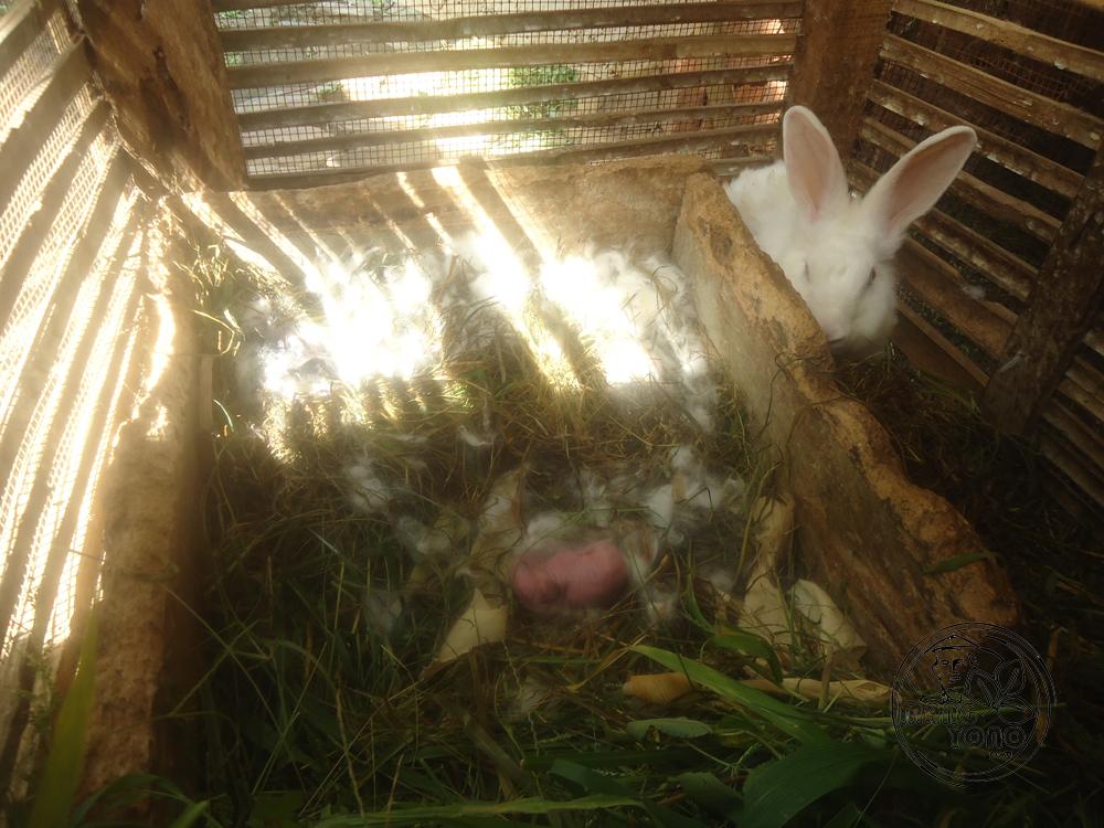 Tahap Perkembangan Kelinci Dari Lahir Hingga Dewasa Blog
